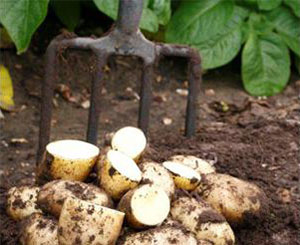 Potatoes in the soil